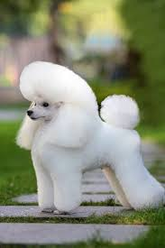 Where To Find Poodles For Sale